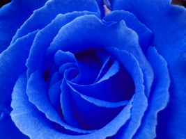 Blue Rose by Julee5