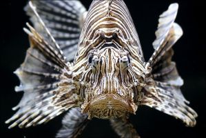 Lion fish. by Evey-Eyes