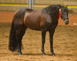 STOCK - 2014 Andalusian Nationals-123 by fillyrox