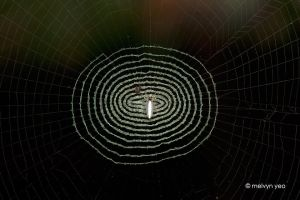 Interesting Spider web by melvynyeo