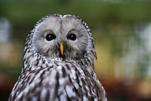 Ural Owl by SnowPoring