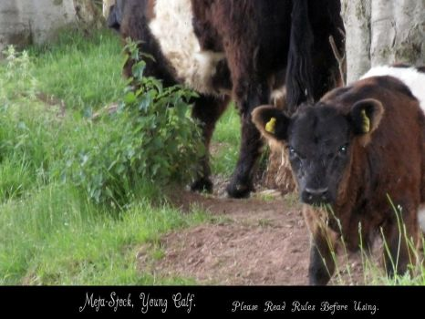 Young Calf Stock Image by Meta-Stock