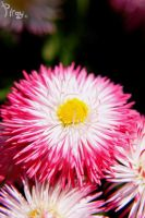 Pink, White, And Yellow Dot by Pi-ray