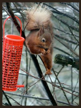 The Red Squirrel by joet07