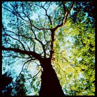 2013-146 Tree tops by the gorge - pinhole by pearwood