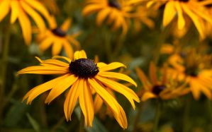 Black-Eyed Susan Wallpaper by sappygolucky