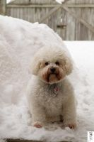 Snowbanked Bichon by The-Dude-L-Bug
