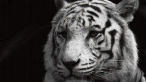 Tiger Photo Mosaic by whendt