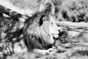 Black and White Lion by i-am-kinda-lost