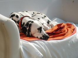my dalmation by Scream-D-Theme-13