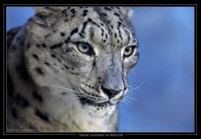 Snow Leopard in Winter by robbobert