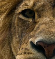 Lions stare by cliffr39