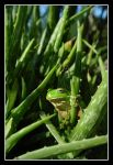 Green tree frog by SuperSal001