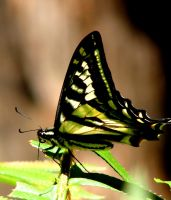 Muir Woods Butterfly by Geotripper
