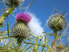 Thistle by Eldr-Fire