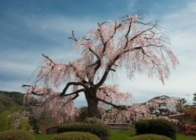 Cherry Tree in Osaka 2 by ricperry1