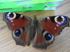 Wing-s by xXseadragonXx