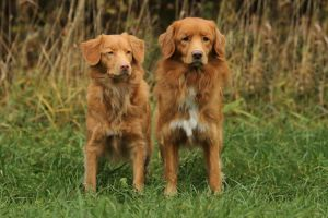 Toller duo by SaNNaS
