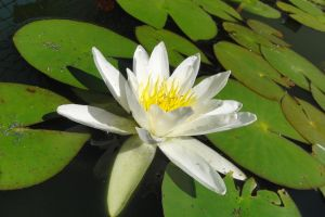 stock water lily 1 by Twins72