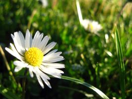 Daisy by Lissou-photography