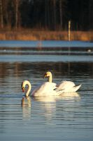More swans by perost