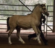 STOCK - 2014 Welsh QLD Show-35 by fillyrox