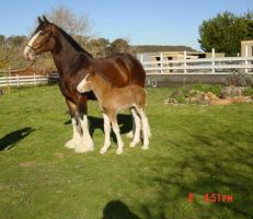 Clydesdale Mare and Foal 3 by How-You-Remind-Me