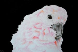 My drawing- Moluccan cockatoo by Verenique