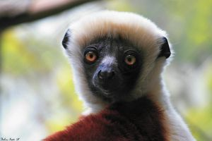 Sifaka Close-Up by mydigitalmind