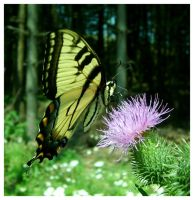 Male Tiger Swallowtail by DeviantLadyAshley