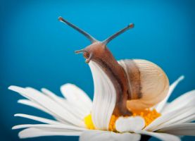 White-lipped Snail by Jasonpb