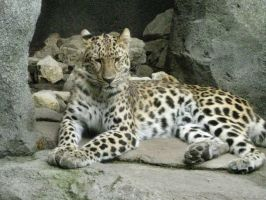 STOCK: Amur Leopard i by cynical-sin