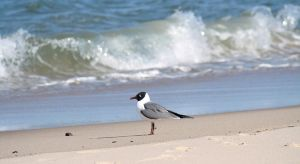 Franklin's Gull at the Ocean by RachelDS