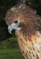 Ruffled Hawk by KAKruger