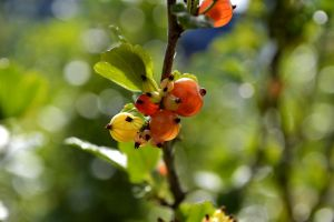 Young Gooseberrys by Roky320