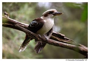 Kookaburra by TVD-Photography