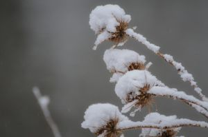 teasels and snow by BD-76
