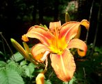 Orange Lily by GestianPoet21