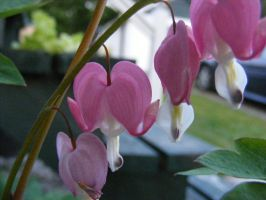 beautiful bleeding hearts by BlueIvyViolet