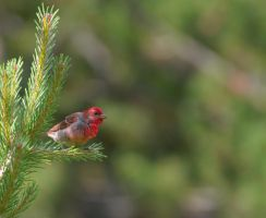 Common rosefinch / Carpodacus erythrinus 4 by renkkoru