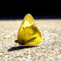 Yellow Butterfly by Speacial-J-Cerial