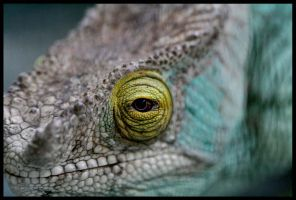 Parson's Chameleon by CriticalPhotography