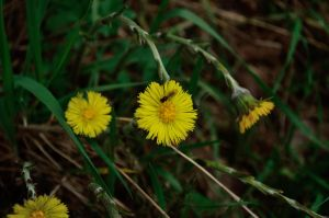 coltsfoot by Criosdan
