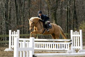 Palomino Pony Gelding Hunter / Jumper by HorseStockPhotos