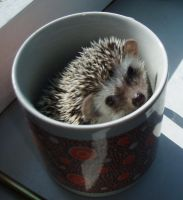 Pygmy Hedgehog in a Cup by kate44