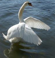 swan dancing 1 by Drezdany-stocks