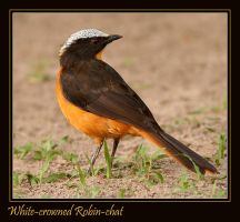 White-crowned Robin-chat by Jamie-MacArthur
