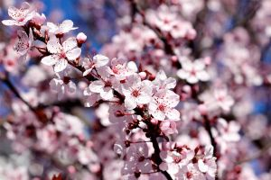 Sunny SF Cherry Blossoms by KARCEN