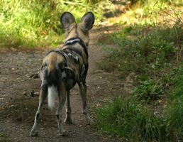African Wild Dog V by oOBrieOo