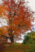 Belvoir Tree Autumn, Side View by Gerard1972
